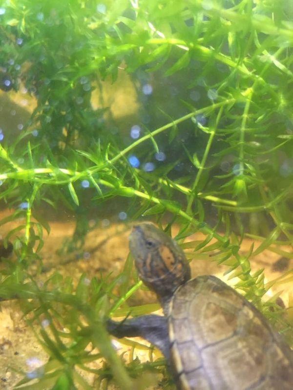 Kleinbleibende Wasserschildkröte Kinosternon cruentatum Rotwangen