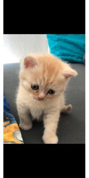 BKH Weibchen Kitte