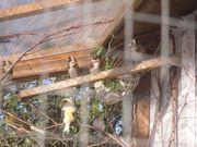 Kanarien Vögel aus Außenvoliere
