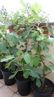 Verkaufe mehrere Feigenbäume Ficus carica