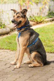 Chrom 4 Jahre - Schäferhund-Mix - Tierhilfe