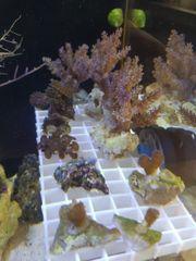 Tausche gegen andere Korallen Meerwasser
