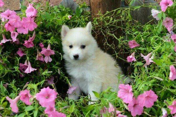 Husky Welpe zum Verkauf angeboten