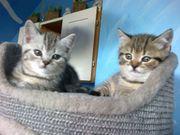 wunderschöne bkh kitten mitte august