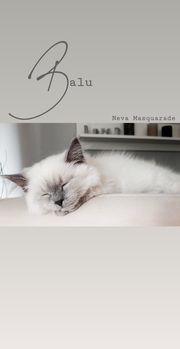 Neva Masquarade BKH Kitten suchen