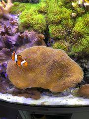 Pilzlederkoralle Meerwasser Meerwasseraquarium
