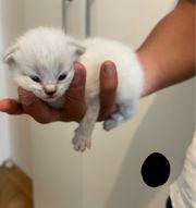 6 wunderschöne BKH Kitten