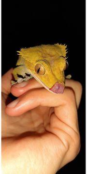 RARITÄT SUPER Harlequin Crested Gecko