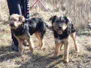 MUCO und BUCO Schäferhund Mischlinge -