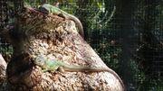 Lacerta viridis Östliche Smaragdeidechse