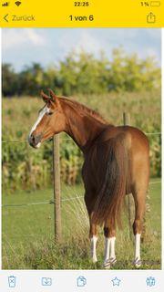 Reitbeteiligung gesucht Pferd sucht Mensch
