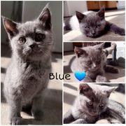Blauer Bkh Junge