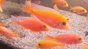 Malawi Barsche Aulonocara Fire Fish