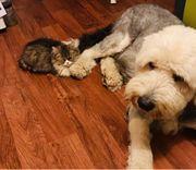 Perser-Maine-Coon Kitten abzugeben