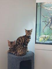 Süße Stubenleoparden Bengal