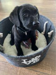 Labrador Retriever Mix Welpe Hündin