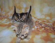 Besondere BKH Kitten