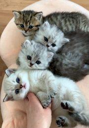 Britisch Kurzhaar BKH Kitten Katzen