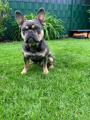 französische Bulldogge Rüde 11 Monate