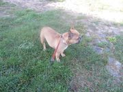 franz Bulldogge weiblich
