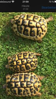Griechische Landschildkröten weiblich 8 Jahre
