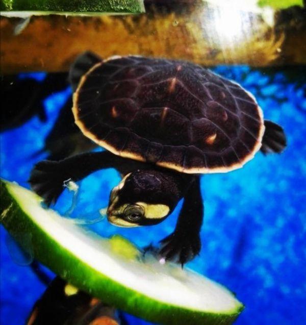 Wasserschildkröten Babys - Emydura Subglobosa