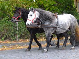 Bild 4 - Gespann Arbeitspferde - Buttstädt