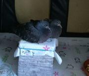 Die Tauben JoJo 1 2
