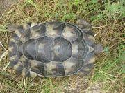 weibliche Breitrandschildkröte NZ 2009