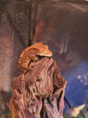 Kronengecko Correlophus Ciliatus 0 0