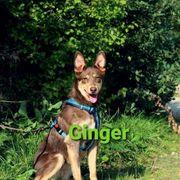 Junge Hündin Ginger sucht ihre