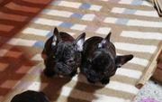 Französische Bulldogge welpen Farbe Brindel