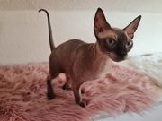 Sphynx Katze weiblich