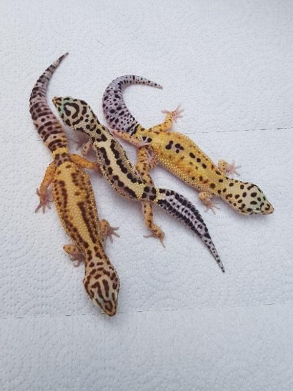 5 Leopardgecko Weibchen abzugeben