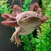 Befruchtete Axolotl Eier zu verkaufen