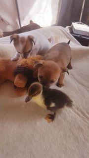 Chihuahua -Welpen