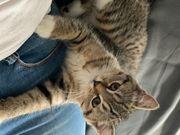 BKH Kitten Mädchen sucht neues