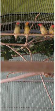 Binsenastrild Binsenamandinen Finken Prachtfinken