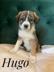 Welpe HUGO - Ich bin neugierig