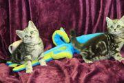 Britisch Kurzhaar Kitten silver tabby