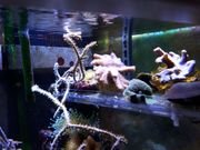 Korallenableger ideal für Einsteiger Lederkorallen