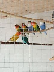 Unzertrennliche kleine Papageien