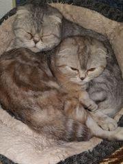 scotisch fold Katzen abzugeben