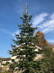 Weihnachtsbaum - Christbaum - Nordmanntanne