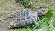 Griechische Landschildkröte - 18 Jahre