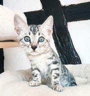 Silber Bengal Kitten Mädchen mit