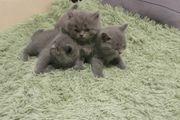 Vollieeber BKH Katzen und Katers