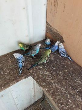 Vögel - Junge Haubenwellensittiche