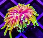 Meerwasser Korallen Fische SPS LPS