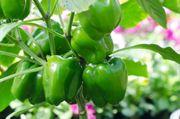 Samen von der Paprika grün